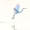 Great Egret <br /> <br /> A Great Egret takes to flight at Cape May Point State Park<br /> <br /> Cape May, NJ