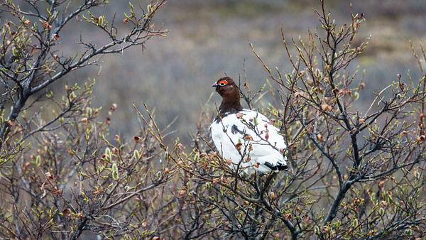Willow Ptarmigan  Alaska State Bird in late winter plumage  Denali National Park and Preserve, Alaska