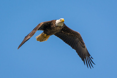 Bald Eagle  Conowingo, MD