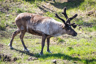 Caribou  Chena Athabascan Indian Village  Fairbanks, Alaska