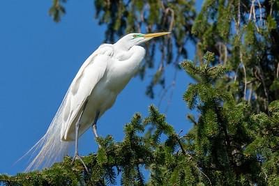 Great Egret Rookery  Kiwanis Lake York, PA