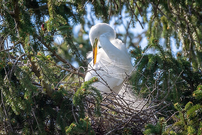 Great Egret Rookery  Kiwanis Lake York, PA