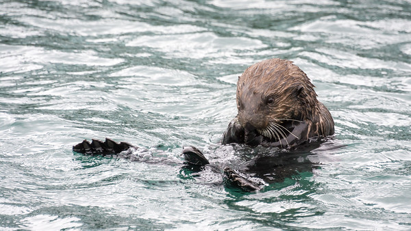 Sea Otter  A Sea Otter fishes for clams in the Seward Marina.  Otters lie on their backs and use a rock to break open the clam shell.  Seward, Alaska