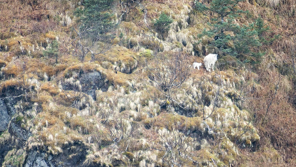 Mountain Goat with Kid  Mountain Goats are sure-footed climbers.  Kenai Fjords National Park Seward, Alaska