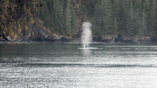 Humpback Whale  Humpbacks feed in the cold waters of Resurrection Bay.  Kenai Fjords National Park Seward, Alaska