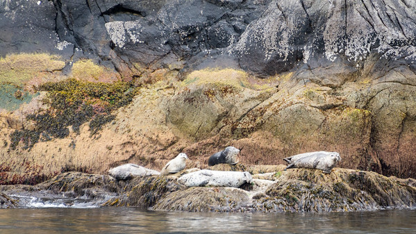 Harbor Seals  Harbors Seals hauled out on the rocks.  Resurrection Bay Seward, Alaska