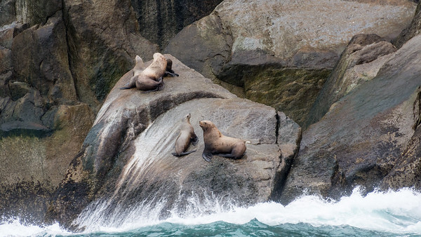 Steller Sea Lions  Steller Sea Lions hauled out on the rocks along Resurrection Bay.  Kenai Fjords National Park Seward, Alaska