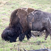 Wood Bison<br /> <br /> The Wood Bison is the northern cousin of the Plains Bison.  The Alaska Wildlife Conservation Center is home to the only Wood Bison herd in the United States.  In collaboration with the Alaska Department of Fish and Game, they are being reintroduced into the Alaskan wild.<br /> <br /> Portage, Alaska