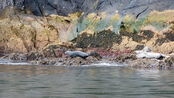 Harbor Seals  Harbors Seals hauled out on the rocks.  Resurrection Bay Seward, Alaska