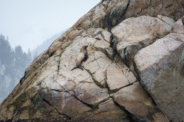 Steller Sea Lions  Steller Sea Lions hauled out on the rocks along Resurrection Bay.  Kenai Fjords National Park Seward, Alaska