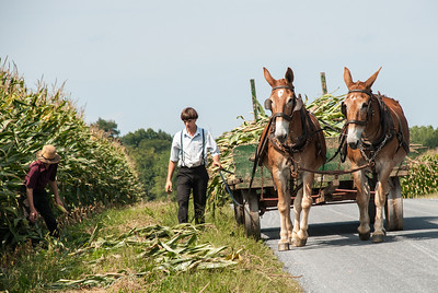 Amish Boys bringing in corn  Bridge Road, Lancaster, PA
