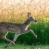 White-tail deer<br /> <br /> A fawn scampers across an open field.<br /> <br /> Lancaster, PA