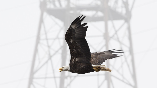 Bald Eagle  A Bald Eagle soars past a transmission tower just below the Conowingo hydroelectric power plant on the Susquehanna River.  Conowingo, MD
