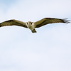Osprey <br /> <br /> An Osprey wings it over the Susquehanna River in Perryville on the first day of Fall.<br /> <br /> Perryville, MD