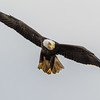 Bald Eagle         <br /> <br /> An adult Bald Eagle begins a dive to catch a fish in the Susquehanna River below Conowingo Dam.<br /> <br /> Conowingo, MD