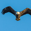 Bald Eagle                 <br /> <br /> A Bald Eagle is illuminated by the morning sun as it heads to the river bank.<br /> <br /> Conowingo, MD