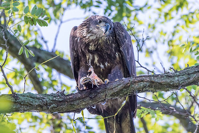Bald Eagle          A juvenile Bald Eagle perches in a tree at Perryville Point Park as it finishes off a meal of fresh fish.  Perryville, MD