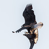 Food Fight!  <br /> <br /> An adult Bald Eagle caught a fish.  It has a one-foot hold on the prize.  A juvenile swoops in to try to steal it - grabbing it with talons from both feet.  Amazingly, the adult won the contest!<br /> <br /> Conowingo, MD