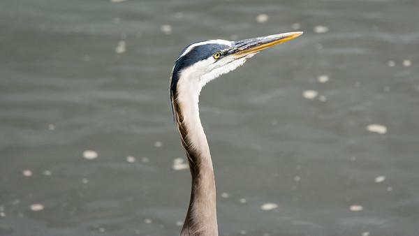 Blue Heron profile  Conowingo, MD