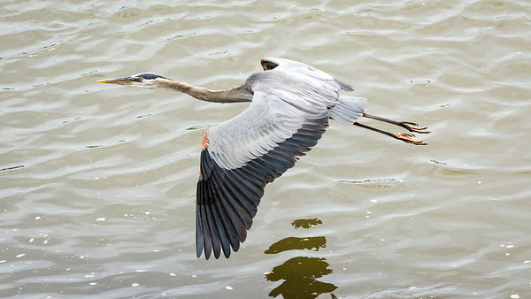 Great Blue Heron - graceful in flight  Moving a few yards upriver to a better fishing spot.  Conowingo, MD