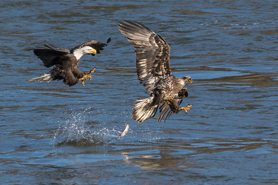 Aw, Look whatcha made me do!  A juvenile Bald Eagle makes a catch and is immediately challenged by an adult. He drops his fish!  Conowingo, MD