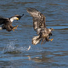 Aw, Look whatcha made me do!<br /> <br /> A juvenile Bald Eagle makes a catch and is immediately challenged by an adult.<br /> He drops his fish!<br /> <br /> Conowingo, MD
