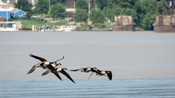 Canada Geese  A squadron of Canada Geese cruises the Susquehanna River at Perryville.  Perryville, MD