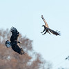 Aerial Combat<br /> <br /> The Bald Eagles at Conowingo regularly engage in aerial combat.  Food is usually involved, but sometimes it appears to be just a competition.<br /> <br /> Conowingo, MD