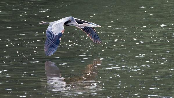 Blue Heron      Majestic in flight  Conowingo, MD