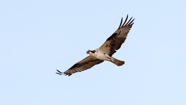Osprey    An Osprey soars over the bay.  Elk Neck State Park, MD