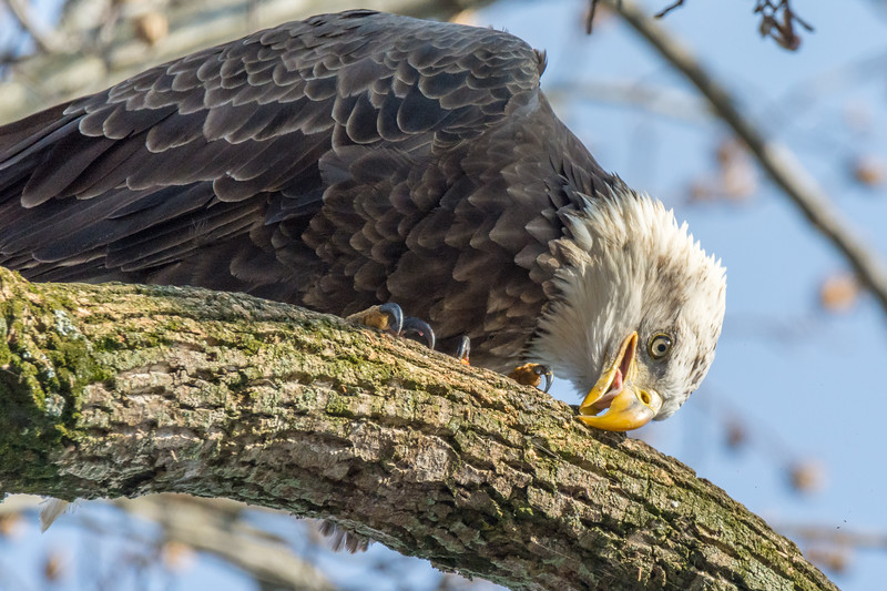 Cleanup after Breakfast<br /> <br /> An adult Bald Eagle cleans its beak after consuming a fish for breakfast by rubbing it on the bark of a Sycamore tree.<br /> <br /> Conowingo, MD