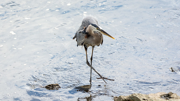 Great Blue Heron    Stealthy stalking in the shallows  Conowingo, MD
