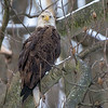 Snowy Perch at Conowingo<br /> <br /> A Bald Eagle perches in snow covered trees along the river bank at Conowingo Dam.<br /> <br /> Conowingo, MD