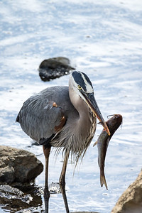 Great Blue Heron  Catch of the day... Can't believe I ate the whole thing!  Conowingo, MD