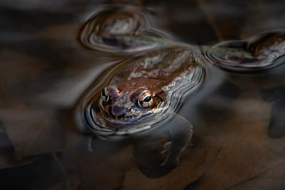 Wood frog  Middle Creek Wildlife Management Area Stevens, PA