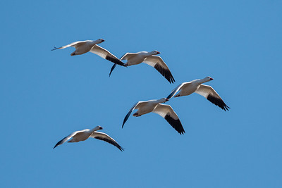 Snow Goose Migration  Middle Creek Wildlife Management Area Stevens, PA