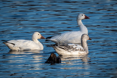Snow Goose Migration  Middle Creek Wildlife Management Area Stevens, PA
