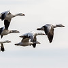 Snow Geese <br /> <br /> In the middle of February 2018, there are now an estimated 100,000 snow geese at Middle Creek!  They are enjoying the moderating temperatures, as much of the lake is now open water.<br /> <br /> Middle Creek Wildlife Management Area<br /> Stevens, PA