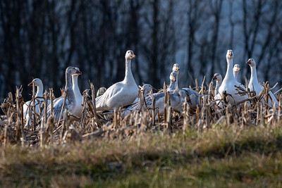 Snow Geese  Middle Creek Wildlife Management Area Stevens, PA