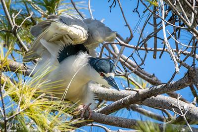 Black Crowned Night Heron  Ephrata, PA