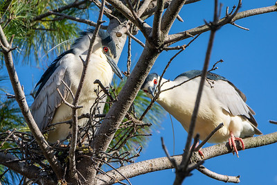 Black Crowned Night Heron  Ephrata, PA