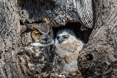Great Horned Owl  The larger of the two owlets poses with its mother at the opening of the nest.  Lancaster County, PA