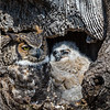 Great Horned Owl<br /> <br /> The larger of the two owlets poses with its mother at the opening of the nest.<br /> <br /> Lancaster County, PA