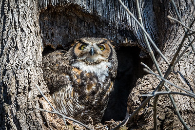 Great Horned Owl  Lancaster County, PA