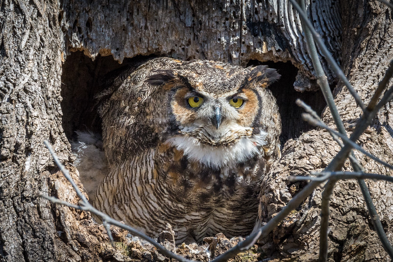 Great Horned Owl<br /> <br /> Lancaster County, PA