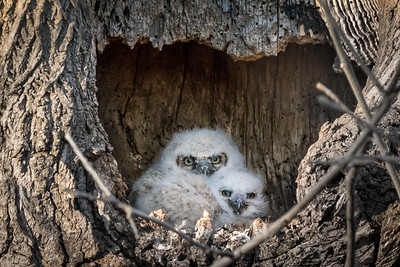 Great Horned Owl  There are two owlets in this year's nest.  Lancaster County, PA