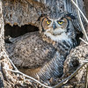 Great Horned Owl<br /> <br /> Don't even think about messing with my nest!<br /> <br /> Lancaster County, PA
