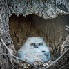 Great Horned Owl<br /> <br /> There are two owlets in this year's nest.<br /> <br /> Lancaster County, PA
