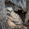 Great Horned Owlet<br /> <br /> Owlet #1 fledged after dark on the night of April 14th, leaving #2 alone in the nest. <br /> <br /> This little one, hatched four days after #1,  left the nest in the middle of the night four days later.  This photo was captured on his last day in the nest.<br /> <br /> Be well, little owlets!  Grow big and strong!