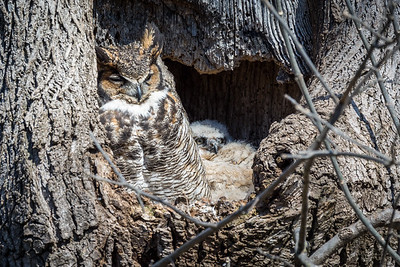 Great Horned Owl  Mother and owlet doze in the late afternoon sun.  Lancaster County, PA